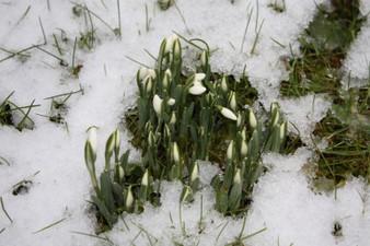 perce-neige-2009.JPG