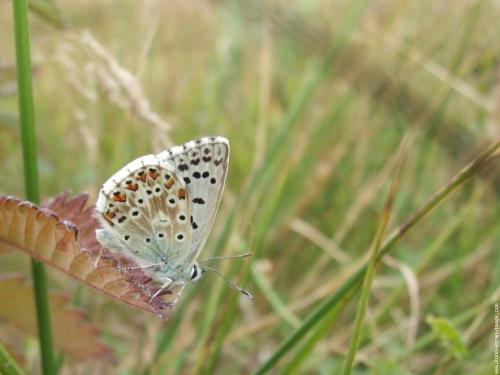 papillon-argus.jpg
