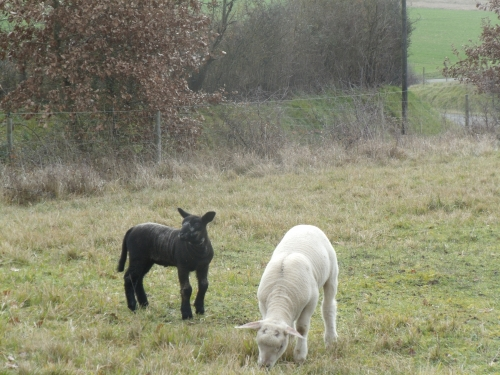 lambs black and white winter 2014 2015 003.JPG